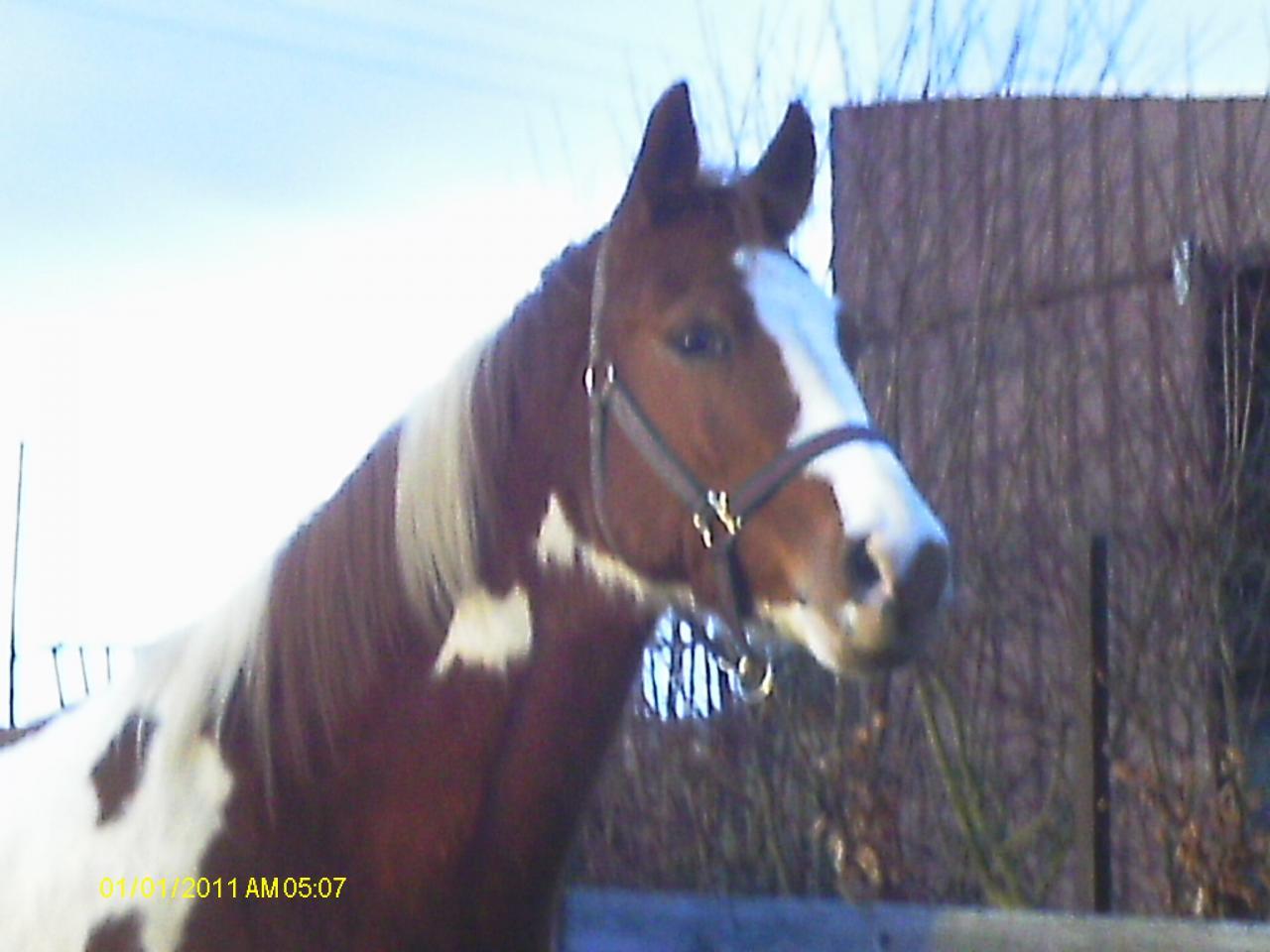 Poco Blue Gal (Paint-Horse) - Février 2013