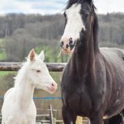 Ice Sugar Cat (Paint-Horse) & Désigual Cat (PS)