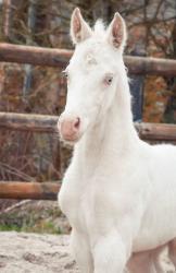 Ice Sugar Cat (Paint-Horse)