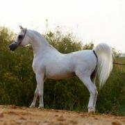 Al Adeed Al Shaqab (Arabe)
