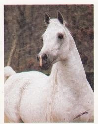 Ansata Imperial (Arabe)