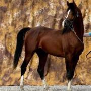 Balito Bey (Arabe)