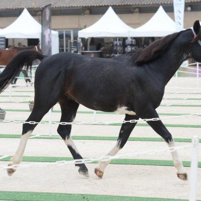 Edenko Black Fame (Arabe)