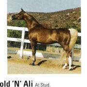 Gold N Ali (Arabe)