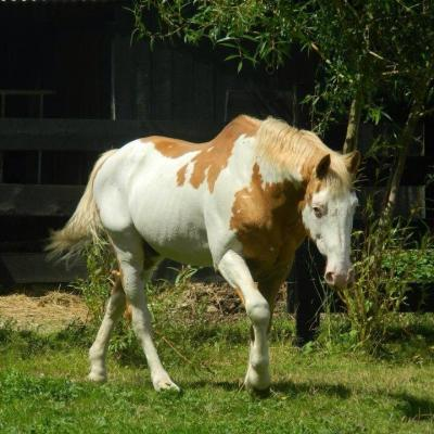 K Bar K Kota (Paint Horse)