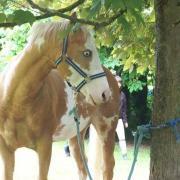 Sugar Billy Bar (Paint Horse)